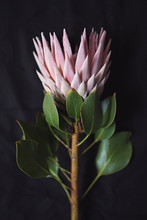 Beautiful Pink King Protea Flower In Australia