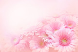Summer/autumn blossoming gerbera flowers on pink background, bright floral card, selective focus