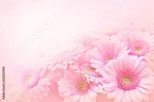 Fotografie, Obraz Summer/autumn blossoming gerbera flowers on pink background, bright floral card,
