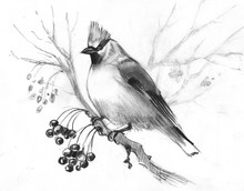 Hand-drawn Sketch Waxwing On A Beige Background