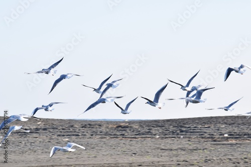 Photo Stands Bird Black-headed gulls flock on the beach