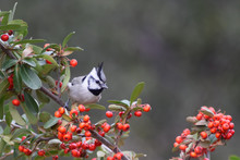 Bridled Titmouse In Pyracantha...