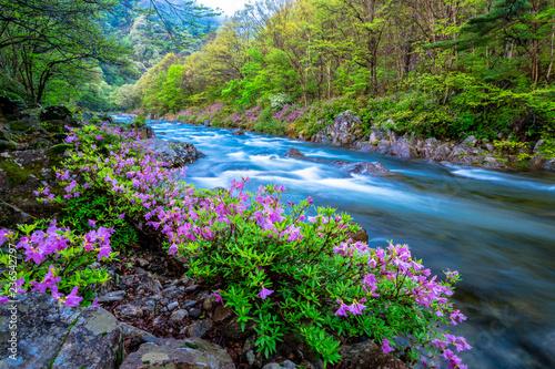 Jirisan valley of Azaleas blooming spring flowers and Running water