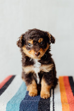 Tiny Brown And Black Puppy Sitting On A Striped Blanket Against A White Wall