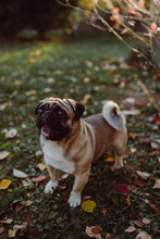 Adorable Pug In Nature