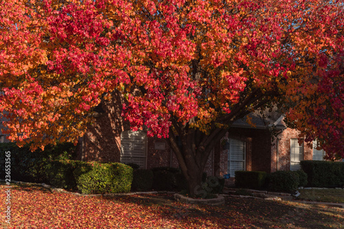Canvas Prints Cuban Red Colorful fall foliage at front lawn of residential house near Dallas, Texas, USA. Thick carpet of ground Bradford pear leaves at sunrise