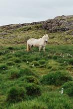 Icelandic Horses In Green Grass
