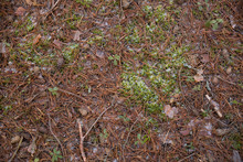 Pine Cones, Needles, Branches And Moss Are Covered With The First Snow That Fell. Nature Is Hibernating. View From Above