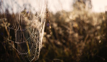 Spider Web On Meadow In The Mo...