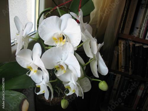 Storczyk Falenopsis (Ćmówka) - Orchidea Phalaenopsis  - 236567951