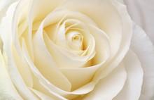 Beautiful Soft Fresh White Rose