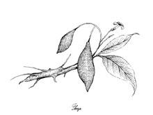 Tropical Fruits, Illustration Of Hand Drawn Sketch Fresh Tabernanthe Iboga Fruits Isolated On White Background.