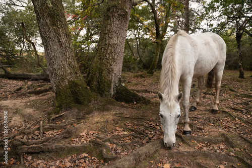 Beautiful portrait of New Forest pony in Autumn woodland landscape with vibrant Canvas Print