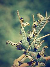 Viele Raupen Fressen Eine Pflanze Kahl