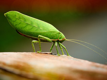 Giant Leaf Katydid (Pseudophyllus Titans) On Wooden Table. Giant Grasshopper.