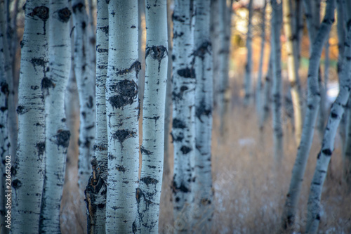 Spoed Fotobehang Berkbosje Birch Trees at Sunset