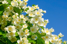 Blooming Jasmine On A Blue Sky Background. Clear Spring Day. Jasmine Bush In Full Bloom