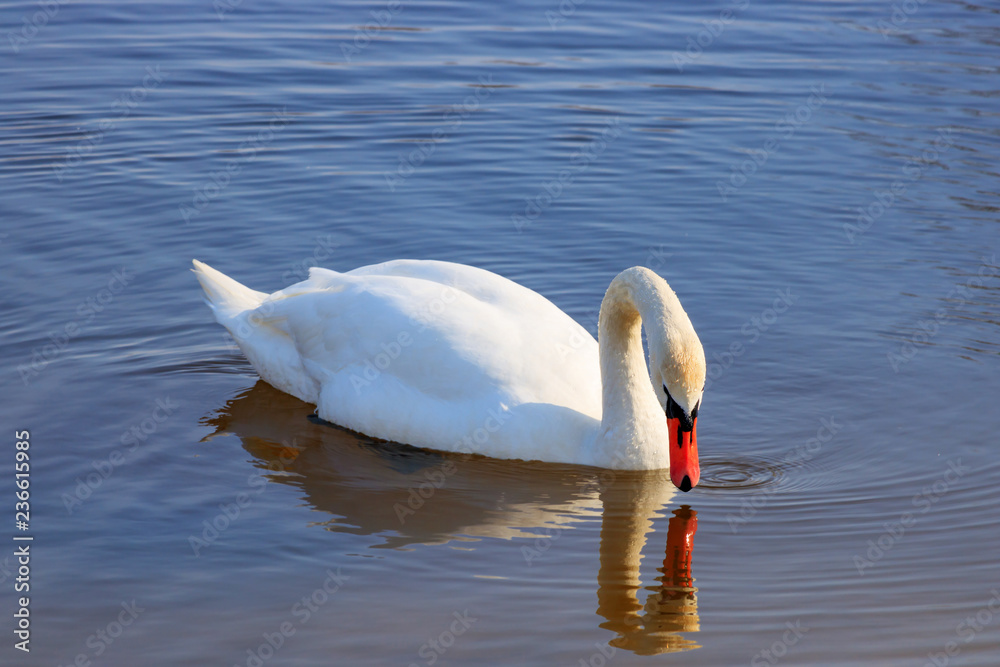Beautiful white swan look at his reflection on the water surface