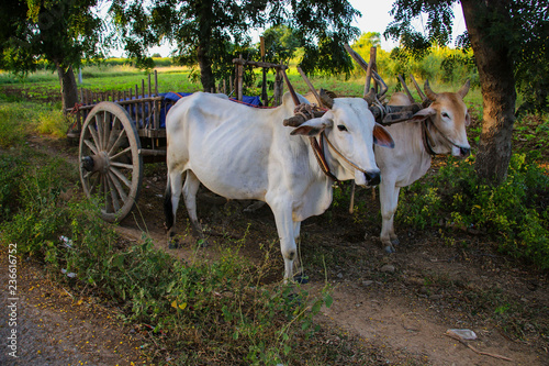 Foto  Burmese rural transportation with two oxen and wooden cart at Bagan, Myanmar (Bu