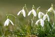 Gruppe von Schneeglöckchen auf der Wiese