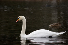 White Wild Swan Flew To White Lake In Gatchina Park In The Fall. Russia