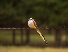 Scissor-tailed Flycatcher Perc...