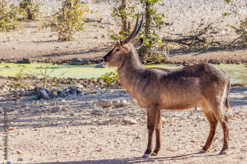 A male waterbuck ( Kobus Ellipsiprymnus) at a water hole looking, Ongava Private Game Reserve ( neighbour of Etosha), Namibia Wallpaper Mural