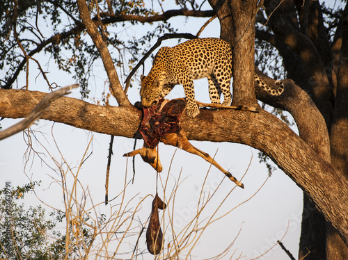 Leopard eating an impala on a tree