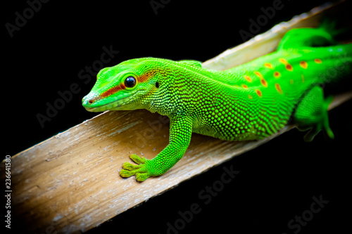 Photo  Green lizard close-up