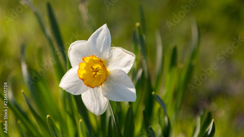 Blooming white daffodil