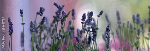 Fotografie, Obraz  Lavendel