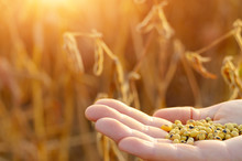 Harvest Ready Soy Beans In Human Hand On Dry Pods Background Evening Sunset Time