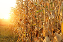Backlit Maize Field At Evening...