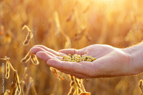 Valokuva  Harvest ready soy beans in human hand on dry pods background evening sunset time