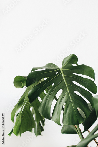 Tropical plant monstera in flowerpot on white background. Wall mural