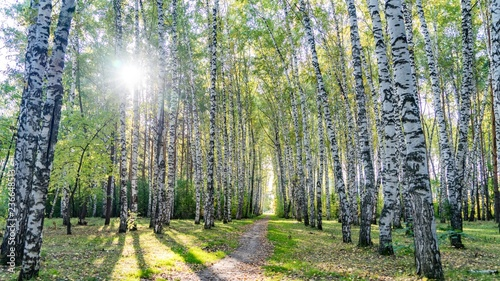 Fototapeta Bottom view from path on crowns of birch trees with sunshine in autumn forest, Tomsk, Siberia. obraz