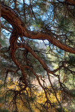 From Under The Shade Of A Giant Wild Pine Tree The Branches Make A Beautiful Canopy Something Like Stained Glass Color Tones And Branches Creating Lines Of Separation