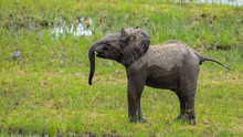 Baby Elephant Playing In The M...