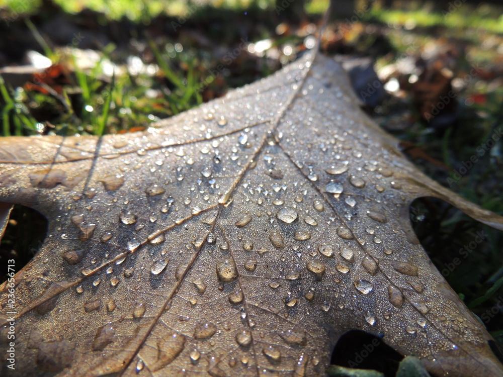 Fototapeta Krople deszczowe na jesiennym liściu