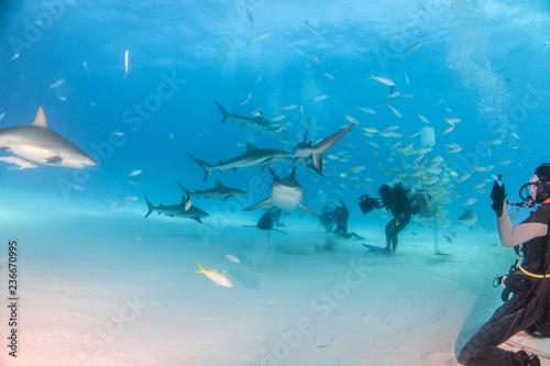 Tiger shark and caribbean reef sharks at Tigerbeach, Bahamas