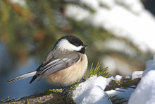 A Black-capped Chickadee Fluffed Up Against A Winter Snow