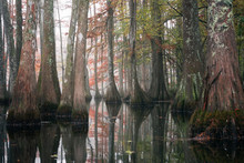 Beautiful Bald Cypress Trees I...
