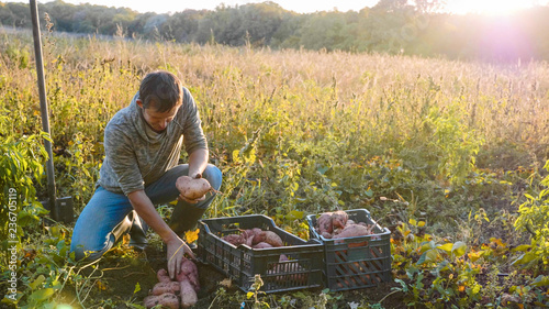 Farmer harvesting and puts sweet potato in box at field of his farm.