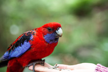 Crimson Rosella Perching On Fe...