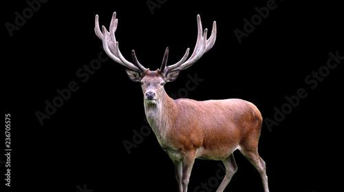 Poster Cerf deer on black background