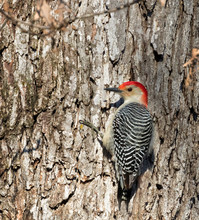 Red-bellied Woodpecker On The ...