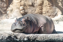 Hippopotamus In The Zoo