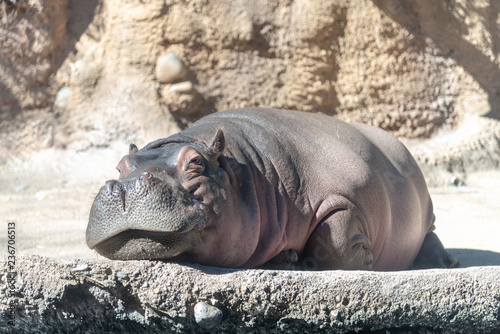 Carta da parati hippopotamus in the zoo