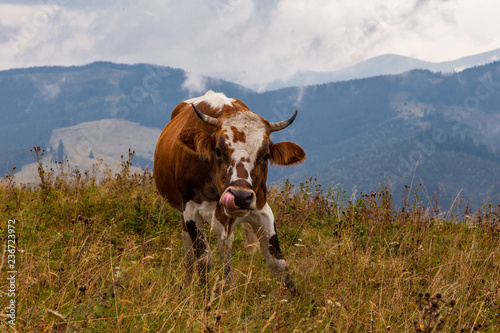 Poster Texas Cow with tongue in its nose