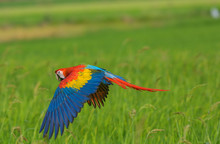 Beauty Macaw Flying Freedom In...